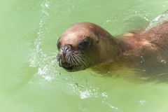 The California sea lion. The California sea lion in a water Stock Photo