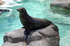 California Sea Lion Catches Some Summer Rays Stock Image