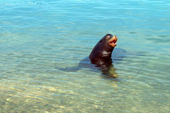 California Sea Lion cooling off in the marina in Cabo San Lucas Baja Mexico Royalty Free Stock Photo