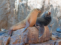 "California Sea Lion couple fighting ""the Wolves Lair"" the Sea Lion colony rock at Los Arcos at Lands End in Cabo San Lucas Royalty Free Stock Image"