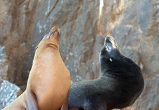"""California Sea Lion couple on La Lobera [""""the Wolves Lair""""] the Sea Lion colony rock at Los Arcos at Lands End in Cabo San Luc Stock Photo"""