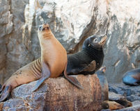"""California Sea Lion couple on La Lobera """"the Wolves Lair"""" the Sea Lion colony rock at Los Arcos at Lands End in Cabo San Lucas Stock Photography"""