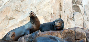 "California Sea Lion couple on La Lobera ""the Wolves Lair"" the Sea Lion colony rock at Los Arcos at Lands End in Cabo San Lucas Royalty Free Stock Photos"
