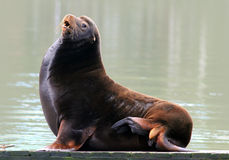 California Sea Lion. A California Sea Lion on a dock in a marina stock images