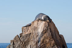 California Sea Lion drying off in the sun on the Pinnacle rock of Lands End at Cabo San Lucas Baja Mexico Stock Photography