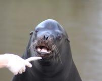 California sea lion eating Royalty Free Stock Photo