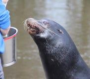 California sea lion eating Stock Photography