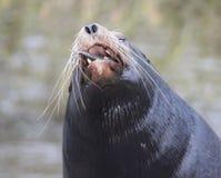 California sea lion eating Stock Image