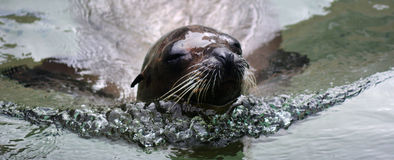 California sea lion Royalty Free Stock Photography