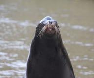 California sea lion head Royalty Free Stock Photo