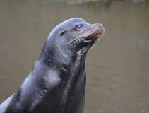 California sea lion head Royalty Free Stock Photos