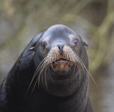 California sea lion head Royalty Free Stock Images