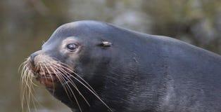 California sea lion head Stock Photo