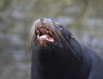 California sea lion head Stock Images