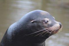 California sea lion head Stock Photos