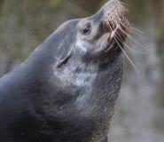 California sea lion head Royalty Free Stock Image