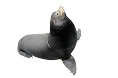 California Sea Lion Isolated Royalty Free Stock Photo