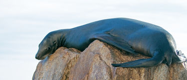 "California Sea Lion lazing on ""the Point"" or ""Pinnacle of Lands End"" of Los Arcos in Cabo San Lucas in Baja Mexico Stock Photo"
