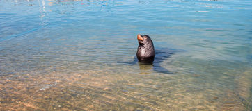 California Sea Lion looking for a free meal in the marina in Cabo San Lucas Baja Mexico Stock Photography