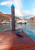 California Sea Lion on marina boat dock in Cabo San Lucas Baja Mexico Royalty Free Stock Image