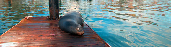 California Sea Lion on marina dock in Cabo San Lucas Baja Mexico Royalty Free Stock Images