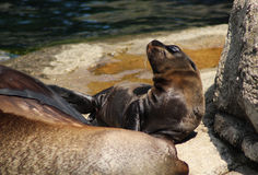 California sea lion, mother with pup Royalty Free Stock Photos