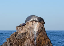 California Sea Lion on the Pinnacle rock of Lands End at Cabo San Lucas Baja Mexico Stock Image