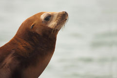 California Sea Lion Pointing. A California Sea Lion pointing away with its nose Royalty Free Stock Photography