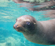 California Sea lion pup Royalty Free Stock Image