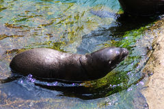 California sea lion pup Stock Photos