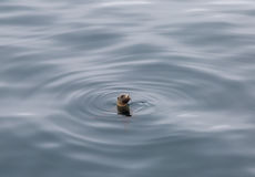 California Sea Lion Pup. A California sea lion pup swimming alone in the ocean Royalty Free Stock Images