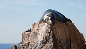 California Sea Lion reflecting sunlight on the Pinnacle rock of Lands End at Cabo San Lucas Baja Mexico Stock Photos