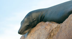 """California Sea Lion resting on """"the Point"""" or """"Pinnacle of Lands End"""" of Los Arcos in Cabo San Lucas in Baja Mexico Stock Images"""