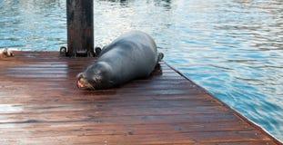 California Sea Lion resting on boat dock in Cabo San Lucas marina in Cabo San Lucas Baja Mexico Stock Photo