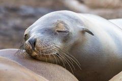 California Sea Lion resting on a neighbor`s body - San Diego, California Royalty Free Stock Photo