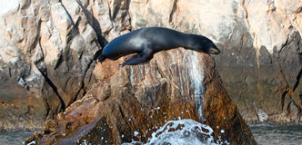 California Sea Lion resting on the Pinnacle rock of Lands End at Cabo San Lucas Baja Mexico Royalty Free Stock Images