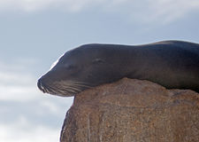 "California Sea Lion resting on ""the Point"" or ""Pinnacle of Lands End"" of Los Arcos in Cabo San Lucas in Baja Mexico Royalty Free Stock Images"