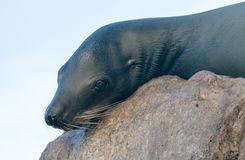 "California Sea Lion resting on ""the Point"" or ""Pinnacle of Lands End"" of Los Arcos in Cabo San Lucas in Baja Mexico BCS Royalty Free Stock Image"