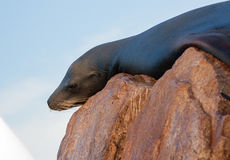 "California Sea Lion resting on ""the Point"" or ""Pinnacle of Lands End"" of Los Arcos in Cabo San Lucas in Baja Mexico BCS Stock Images"