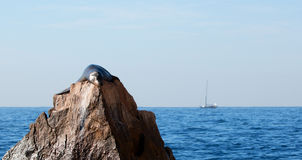 "California Sea Lion resting on ""the Point"" or ""Pinnacle of Lands End"" of Los Arcos in Cabo San Lucas with sailboat in back Royalty Free Stock Photo"