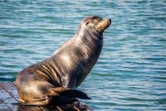 California Sea Lion in San Francisco, California royalty free stock photos