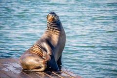 California Sea Lion in San Francisco, California royalty free stock photo
