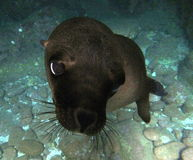 California Sea Lion. Pup up close and personal, Los Islotes, Espiritu Santo, Baja California, Mexico Stock Images