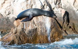 California Sea Lion sleeping in while on the Pinnacle rock of Lands End at Cabo San Lucas Baja Mexico Stock Photography