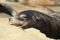 California sea lion sleeping on a rock Royalty Free Stock Images