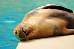 California sea lion Stock Photo