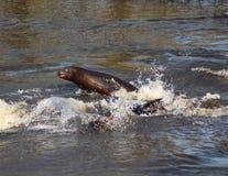 California sea lion springing Royalty Free Stock Image