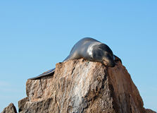 California Sea Lion stretched out in the sun on the Pinnacle rock of Lands End at Cabo San Lucas Baja Mexico Stock Photography