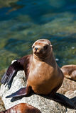 California sea lion in sun. A California sea lion basks in the afternoon sun in the harbor Stock Images