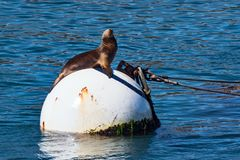 California Sea Lion. Sunbathing on a buoy Royalty Free Stock Photo